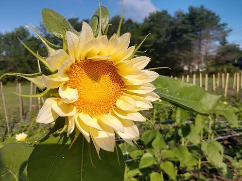 Dottie's Sunflower White Lite