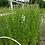Thumbnail: Larkspur, purple/white mix - Heaven Scent Flowers
