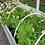 Thumbnail: Icelandic Poppies - Heaven Scent Farm