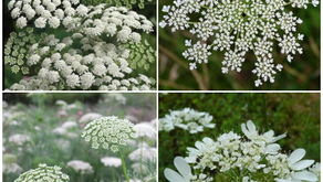 Party Hardy Annuals- The Lace Flower Saga