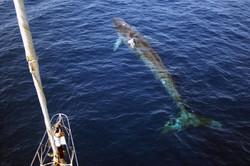 whale watching_mare_natura_ambiente_bordighera_liguria_turismo esperenziale_tethys_balene_cetacei