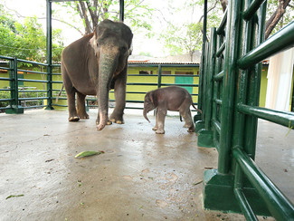 """""""Dumbo"""" anggota baru keluarga satwa KBS"""