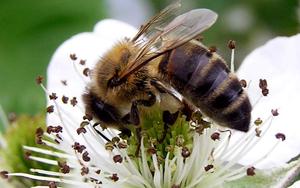 Die Dunkle Biene - Bericht aus Österreich