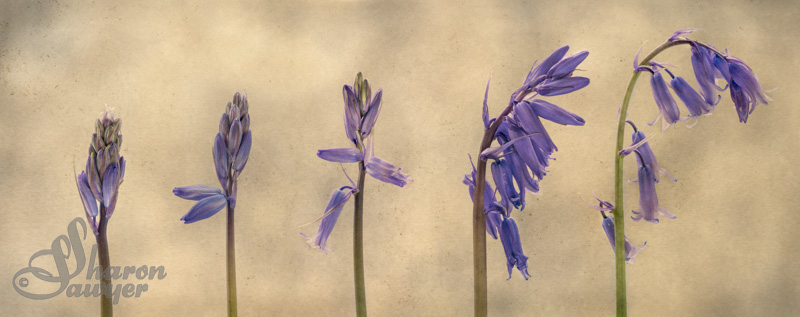 Bluebells- A Study