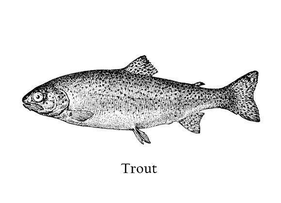 Trout 150 – 200g