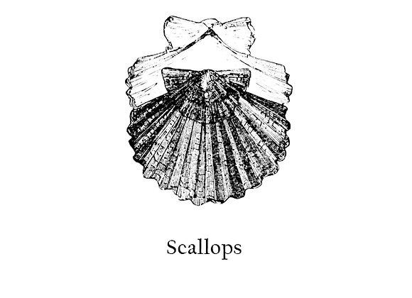 Scallops 30g – 50g