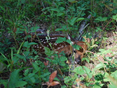 Please, leave the fawns alone