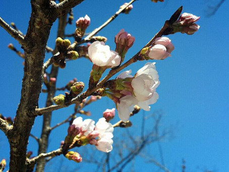 Cherry blossoms has bloomed