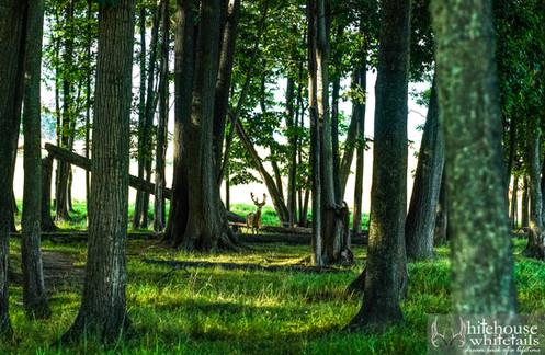 Buck in woods.jpg