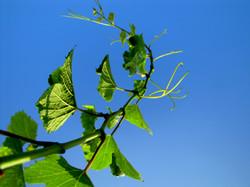 Vine Sky Wine Vineyard