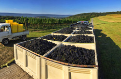 Truck Harvest Red Grapes Wine