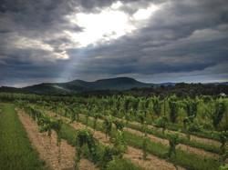 Vineyard Stony Run Pennsylvania Wine