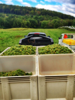 Harvest White Grapes Vineyard Wine