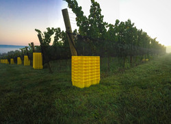 Harvest Vineyard Pennsylvania Wine