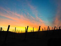 Sunset Cotton Candy Vineyard Wine