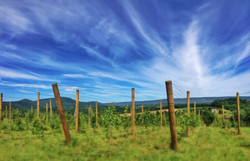 Grapes Farm Vineyard Wine Kempton