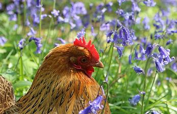 hen-wood.jpg