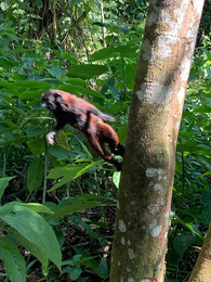 hualer monkey