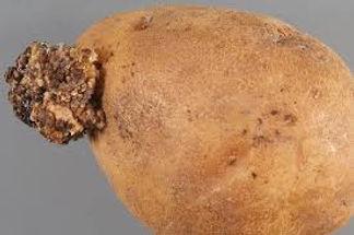 Potato Wart