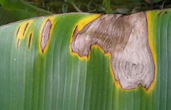 Brown Leaf Spot