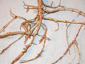 Root Knot Nematodes