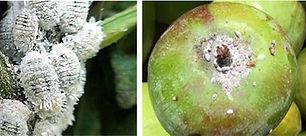 Mango mealy bug
