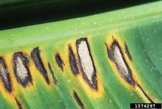 Black Leaf Spot