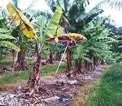 Panama Wilt Disease