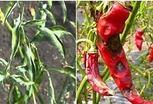 Die Back/Fruit rot
