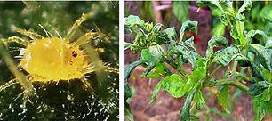 Yellow mites