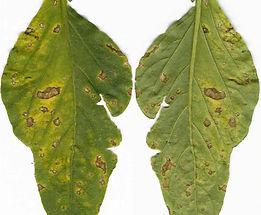 Bacterial Leaf Spots