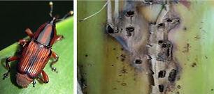Banana Pseudo stem borer