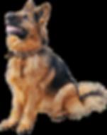 German_Shepherd_Dog_PNG_Clipart-545.png