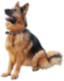 German_Shepherd_Dog_PNG_Clipart-545.png