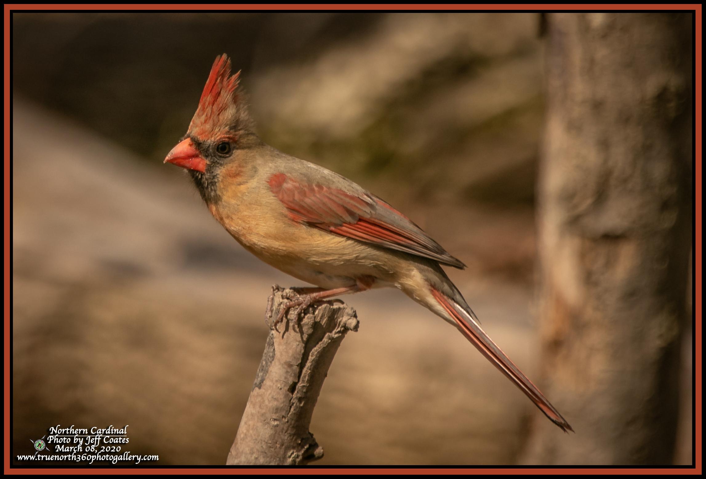 2020-03-08-BirdWalk-ECPk-NorthernCardina
