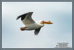 2020-03-24-BirdWalk-Pelican-ECPk-08-BD-W