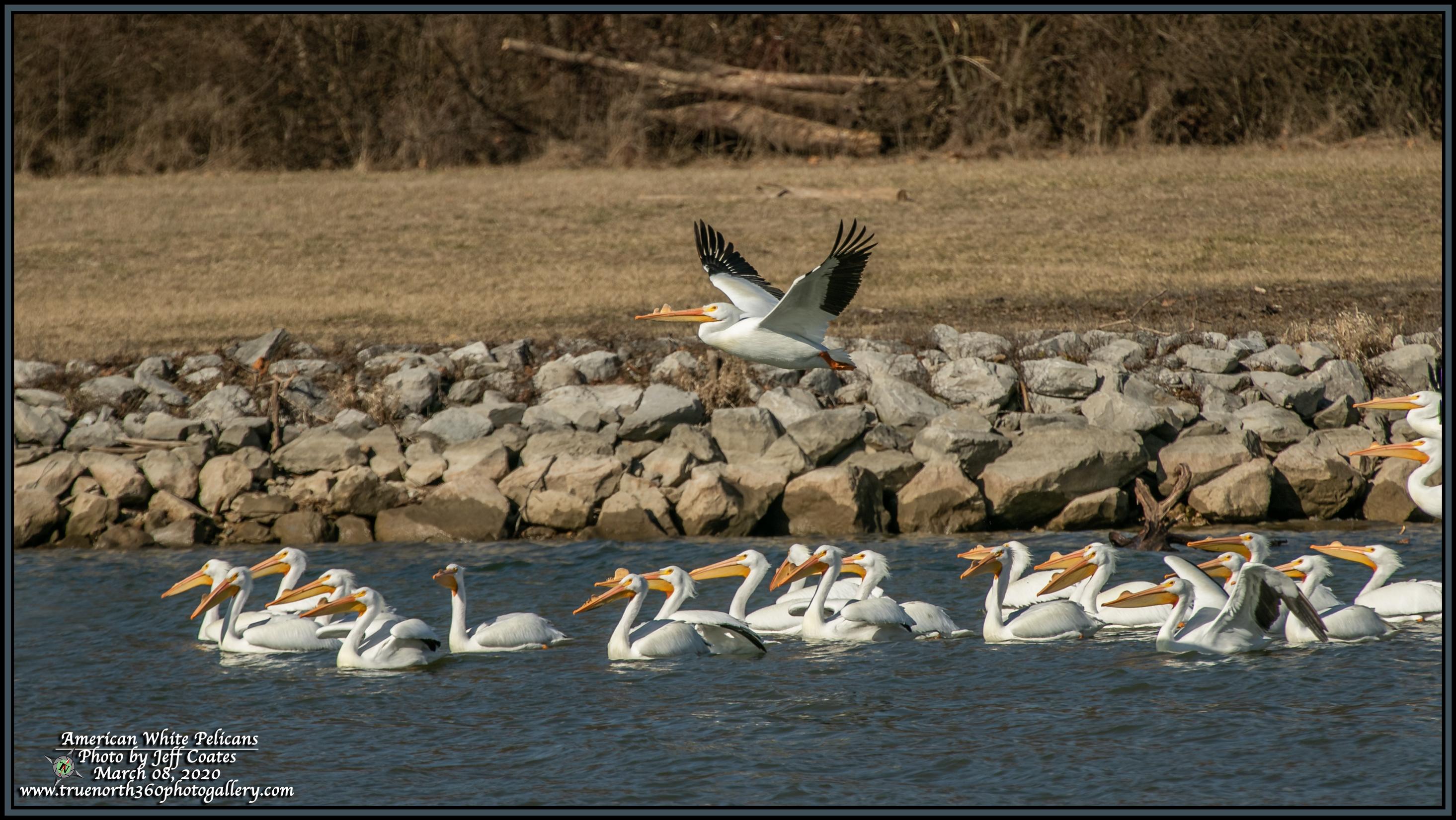 2020-03-08-BirdWalk-ECPk-Pelicans-Flying