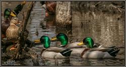 2020-03-08-BirdWalk-ECPk-MallardDucks-05