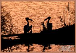2020-03-25-BirdWalk-Pelicans-Sunset-ECPk