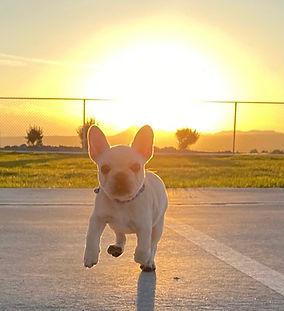 bulldog breeder in Oklahoma