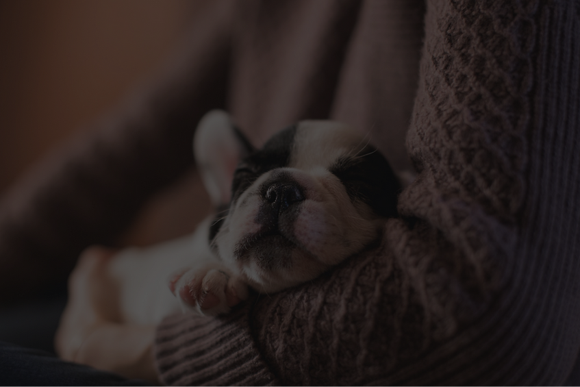 bulldog puppys for sale oklahoma