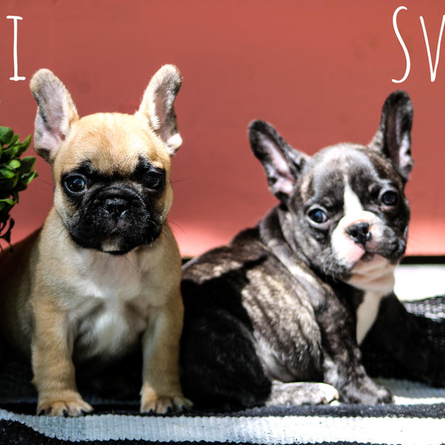 Puppies of Sophie & Scorch