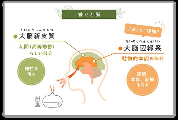"""〈香りと脳〉大脳新皮質→人間(高等動物)らしい部分(理性を司る)、大脳辺縁系→動物的本能の部分(感情、本能、記憶を司る)広義では""""嗅脳"""""""