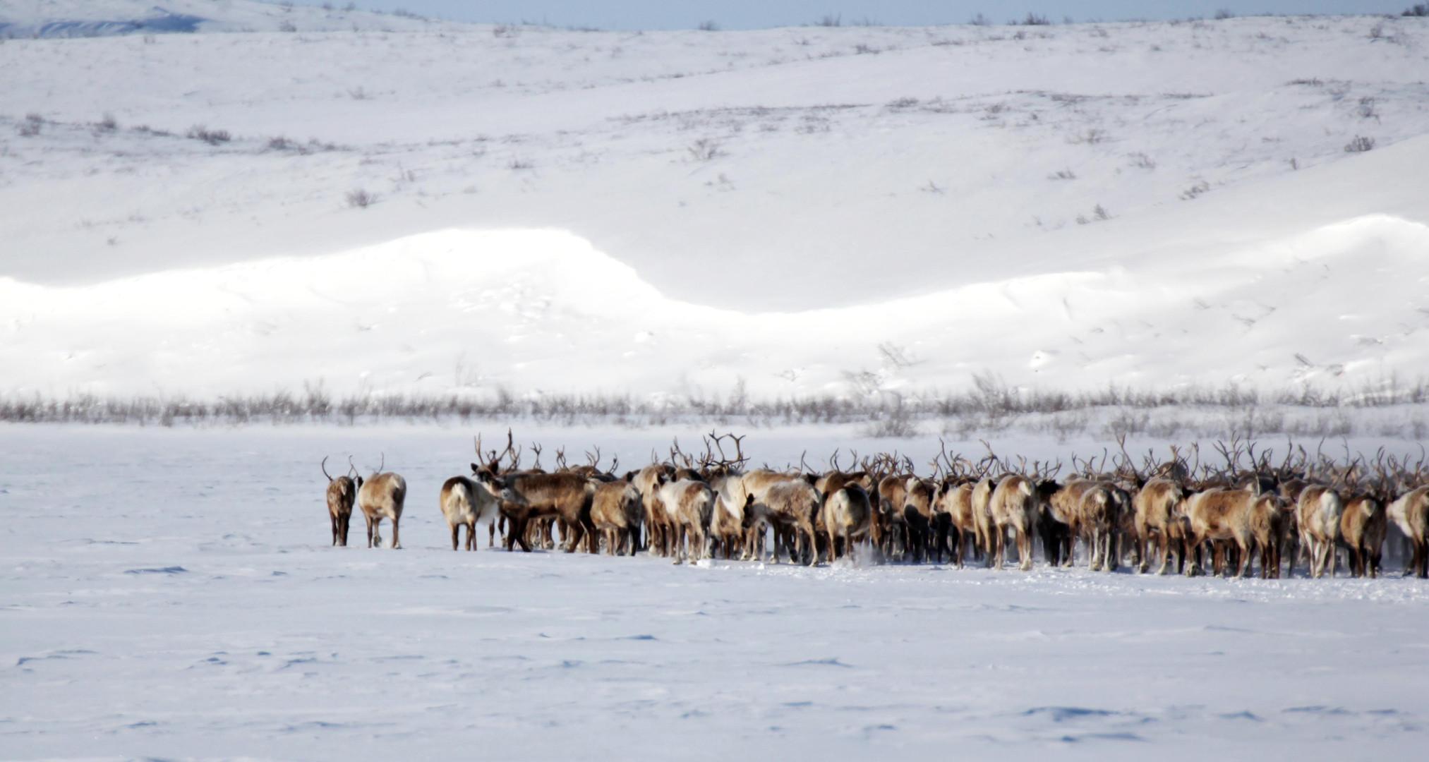 Reindeer Crossing_20130407_1524.jpg