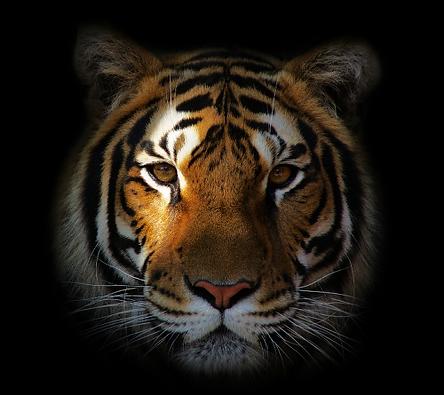 Tiger Head 2.png
