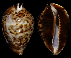 Cypraeidae (cowries).png