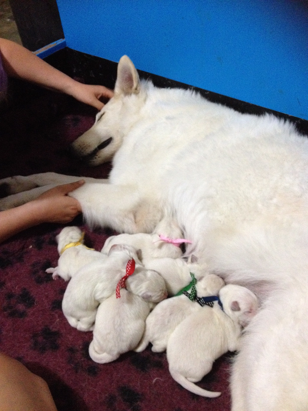 Sheba with her pups