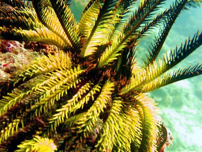 Feather Stars; Beautiful Feathered Creatures of the Sea