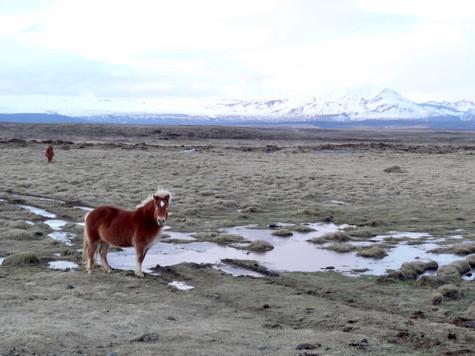horses. reykjavik