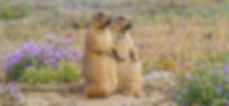 Black-tailed_Praire_Dog_Denver_CO_09_25_